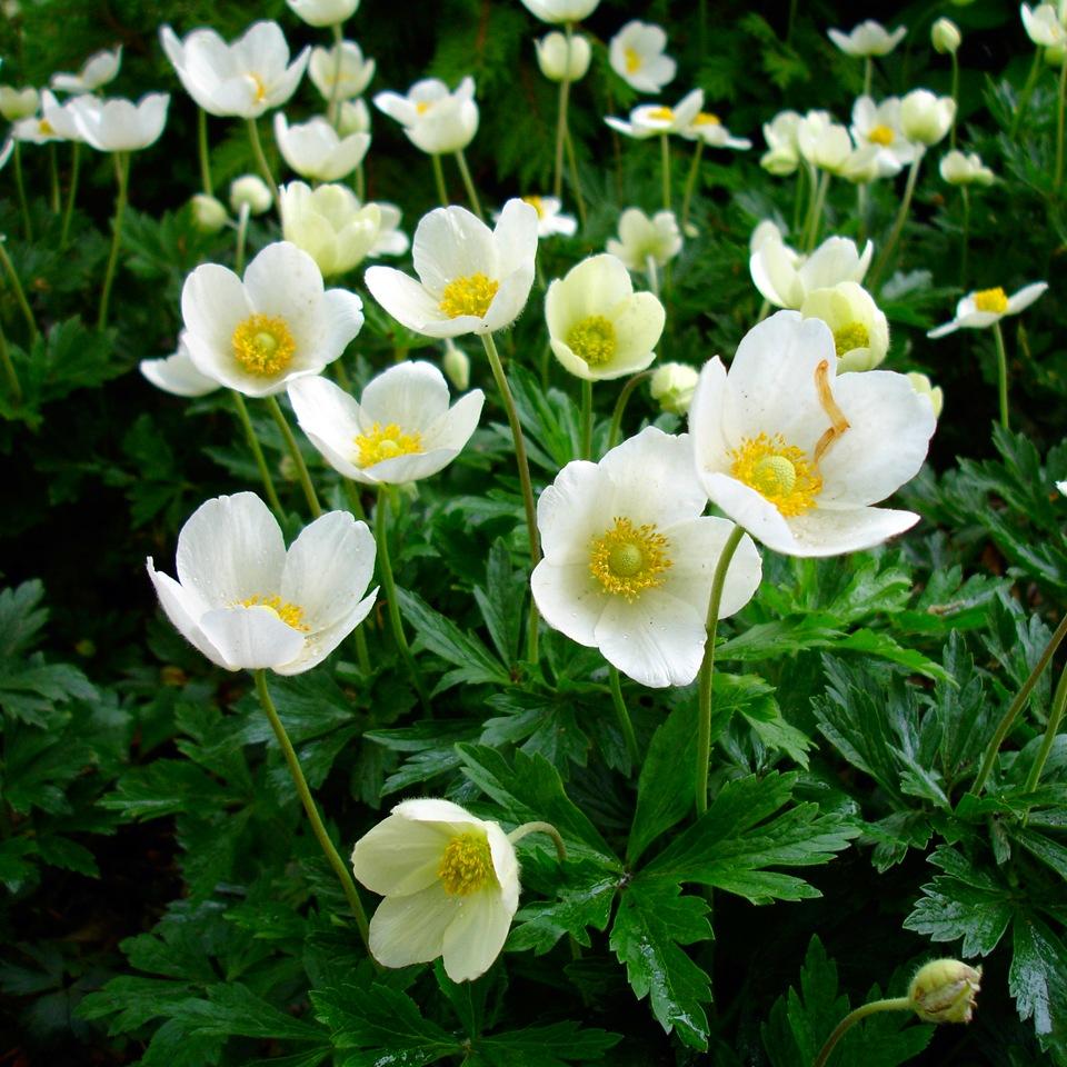 Анемона цветы